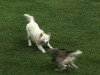 soaringwithdogs_play